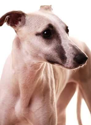 अपार्टमेंट या शहर के निवासियों के लिए 10 मध्यम से बड़े आकार के कुत्ते नस्लों