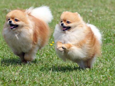Pomeranian कुत्ते चल रहा है