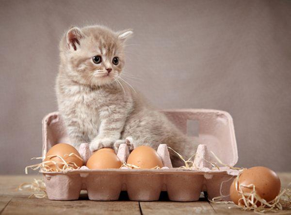 अंडे के एक दफ़्ती में बैठे एक अस्पष्ट ग्रे बिल्ली का बच्चा।