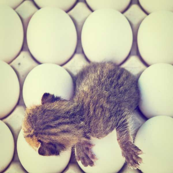 अंडे के बीच बैठे एक छोटे बिल्ली का बच्चा।