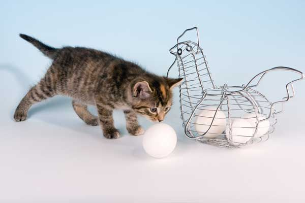 एक अंडे स्नीफिंग एक भूरा बिल्ली का बच्चा।