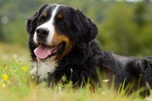Bernese पहाड़ कुत्ते स्वभाव