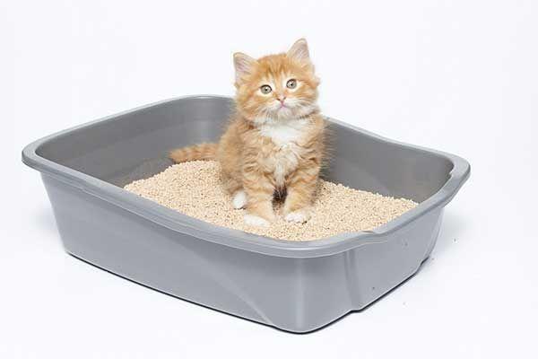 गेहूं आधारित कूड़े में बैठे ऑरेंज बिल्ली का बच्चा