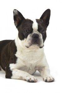 बोस्टन टेरियर स्वभाव - दोस्ताना, ऊर्जावान, पारिवारिक कुत्ता