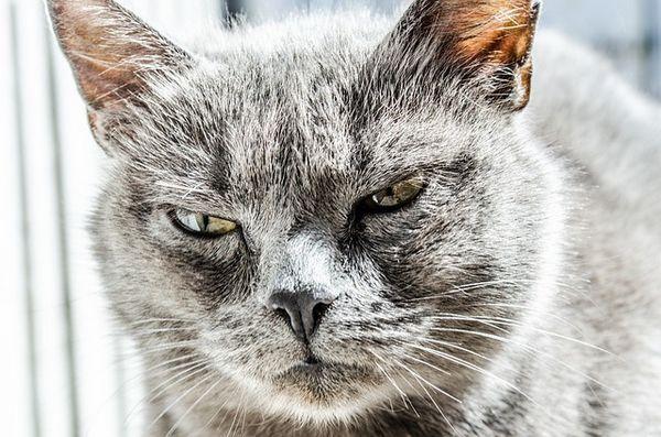 गुस्से में ग्रे बिल्ली