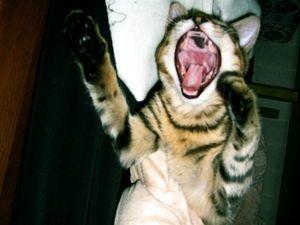 बिल्लियों को लैरींगिटिस मिल सकता है?