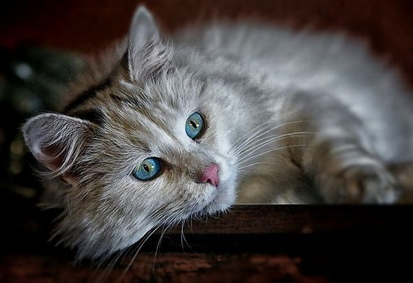 लंबे भूरे बाल के साथ बिल्ली
