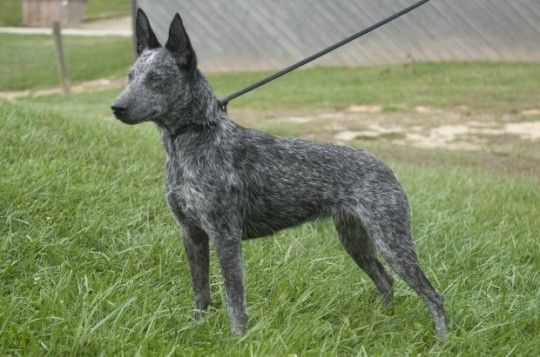 Australian_Stumpy_Tail_Cattle_Dog