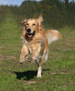 सुनहरा कुत्ता स्वभाव