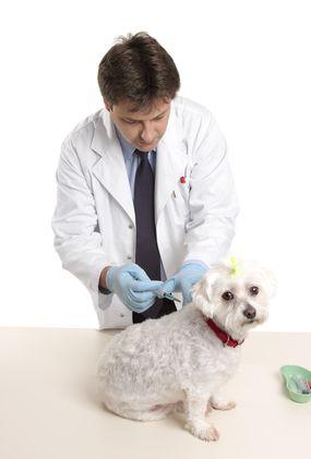 पशु चिकित्सक कुत्ते इंजेक्शन दे रहा है
