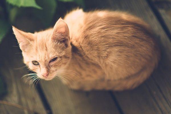 बिल्ली आंख संक्रमण के लिए घरेलू उपचार