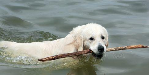 लैब कुत्ता छड़ी के लिए तैरता है