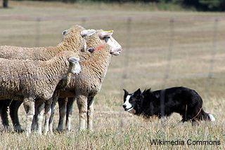 सीमा कोल्ली हर्डिंग भेड़