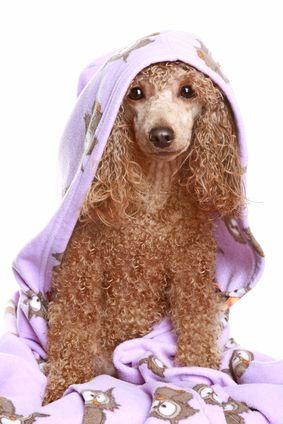 स्नान के बाद सूखी कुत्ता
