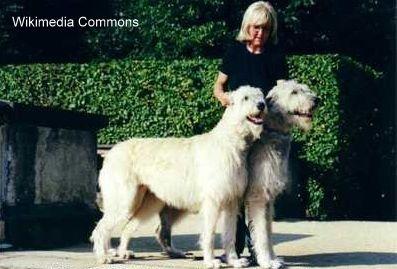 आयरिश wolfhound स्वभाव - मीठे टेम्पर्ड सभ्य दिग्गजों