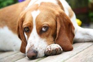 क्या आपका कुत्ता निराश है? पता करें कि आप इसके बारे में क्या कर सकते हैं।