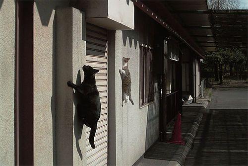 बिल्ली चढ़ाई दीवारों? देखो, यह मकड़ी बिल्लियों है!