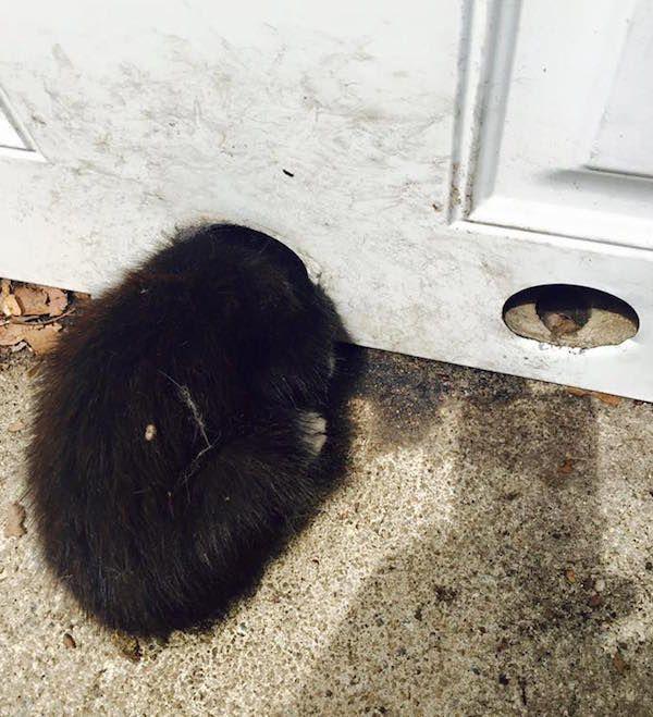 बिल्ली के बच्चे को उसके सिर को डोरकोनोब छेद में फंस गया