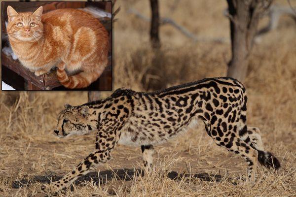 जंगली और घरेलू बिल्लियों के बीच नया आनुवंशिक लिंक मिला