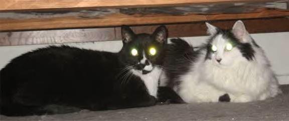 वरिष्ठ बिल्ली भाइयों की जोड़ी को सामाजिक में फ्यूवर घर चाहिए