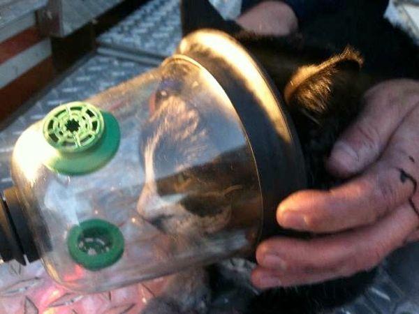 पालतू ऑक्सीजन मास्क बिल्ली के जीवन को बचाता है