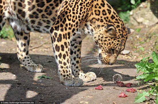 चूहे चटज़पा के स्वादिष्ट कार्य में बड़ी बिल्ली के दोपहर का भोजन चुरा लेता है