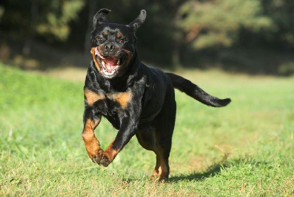 आक्रामक चार्जिंग Rottweiler