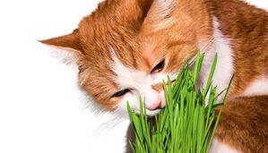 कार्बनिक बिल्ली भोजन