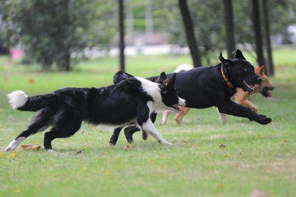 कुत्ते लॉन पर एक साथ चल रहे हैं