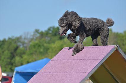 कुत्ते की चपलता परीक्षण पर सिल्वर स्टैंडर्ड पूडल