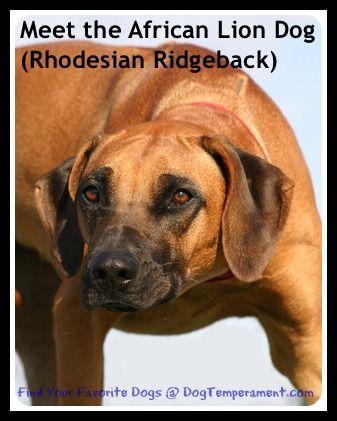 रोड्सियन रिजबैक स्वभाव - अफ्रीकी शेर कुत्ते से मिलते हैं