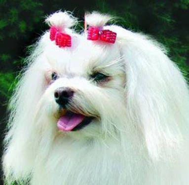 बाल में धनुष के साथ कुत्ता