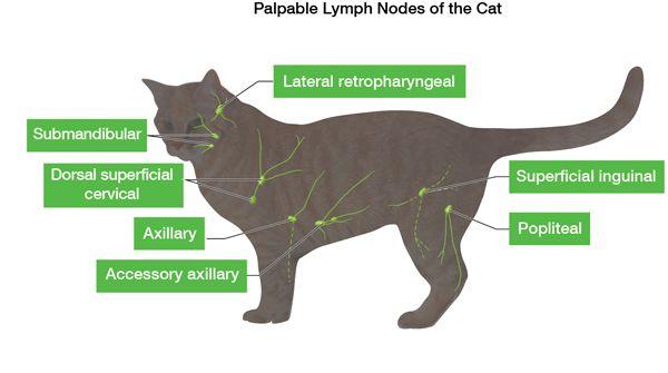 आपको अपनी बिल्ली के लिम्फ नोड्स के बारे में क्या पता होना चाहिए