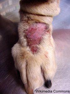 मेरा कुत्ता लगातार अपने पंजे क्यों मार रहा है?