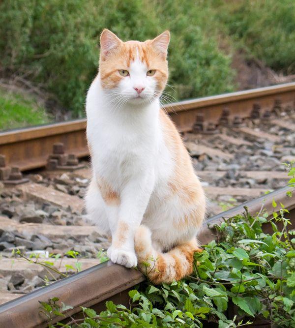 क्या आप अपनी बिल्ली को ट्रेन यात्रा पर लाएंगे?